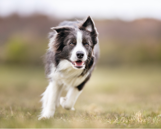 dogstar-about-dog-running