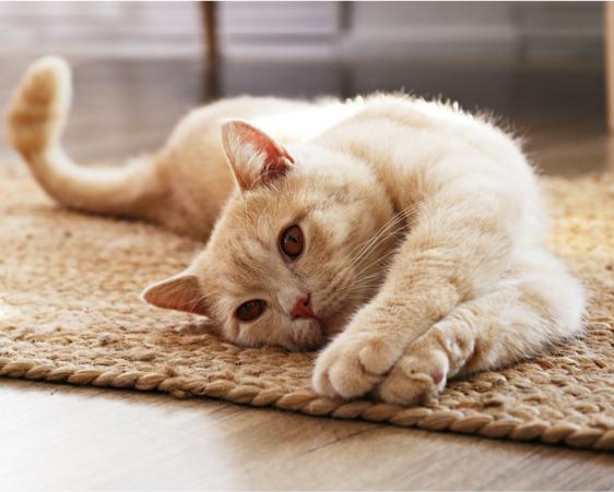 dogstar-cat